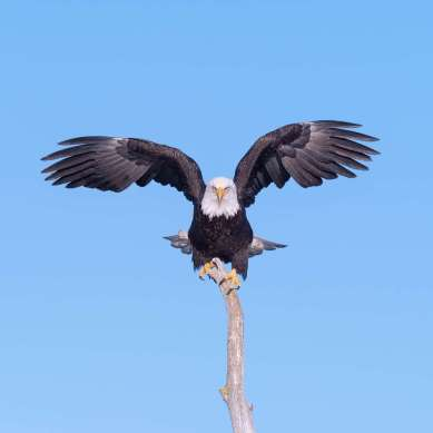 Perched Eagle photograph by Scott Bourne