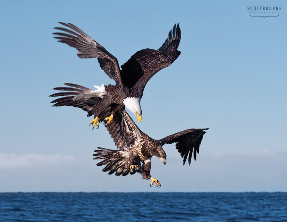 Picture of two eagles diving for a fish made by Scott Bourne