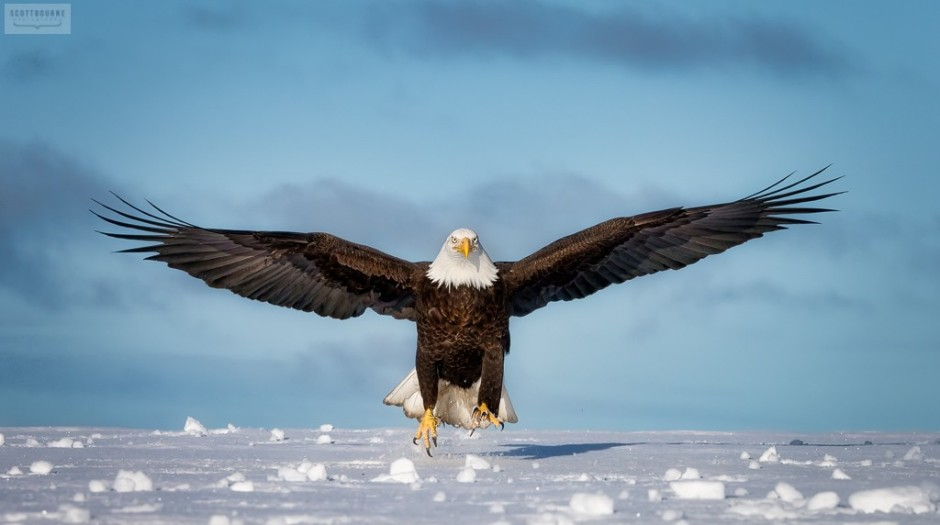 Eagle Photograph On Snow by Scott Bourne