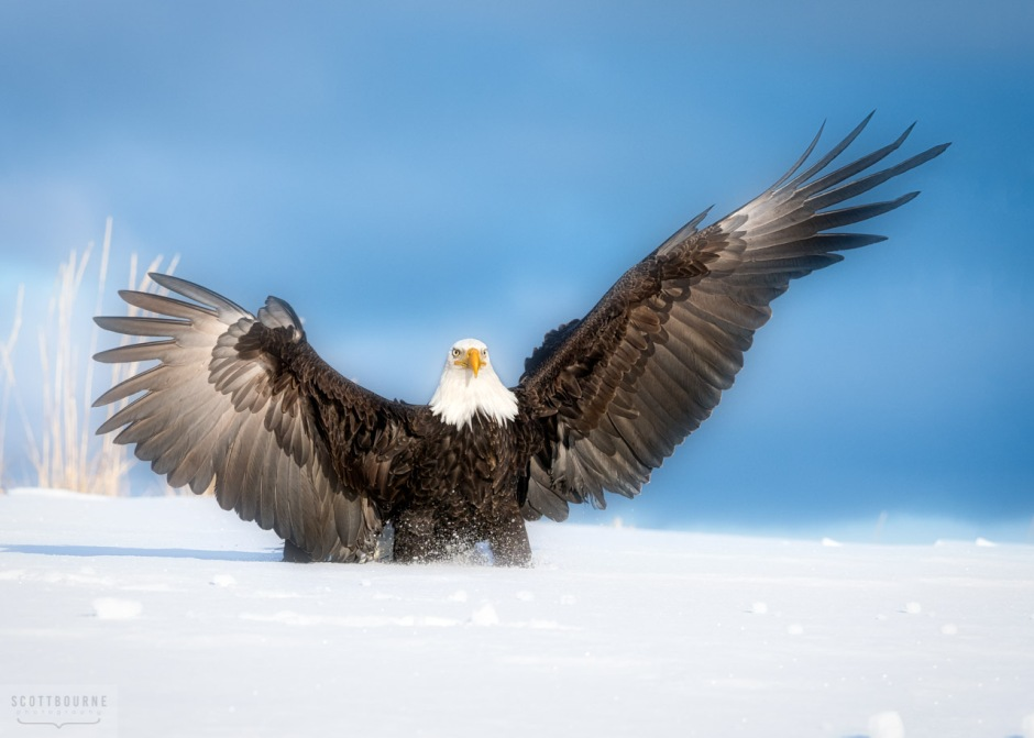 Bald eagle landing in the snow - photograph by Scott Bourne