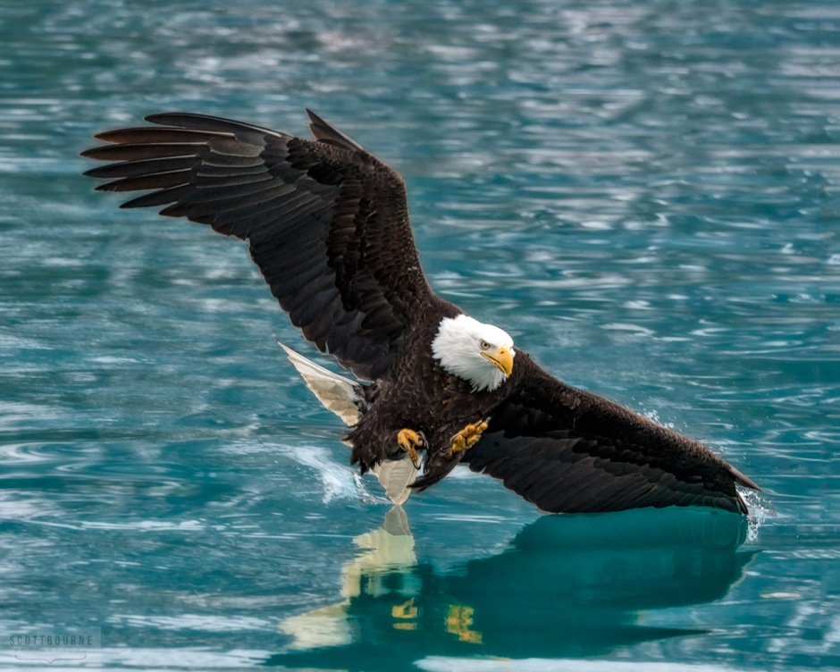 Bald Eagle Photograph by Scott Bourne - Eagle surfing