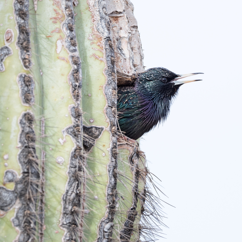 European Starling In A Flickr's Nest - Picture by Scott Bourne