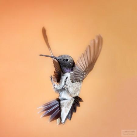 Hummingbird Photo by Scott Bourne