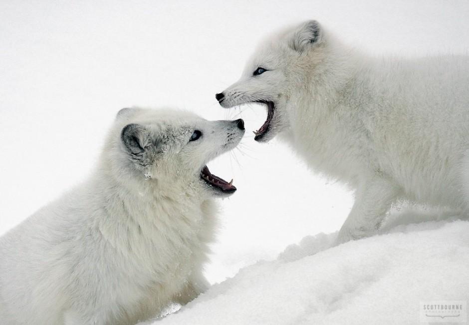 Arctic Fox Photograph by Scott Bourne
