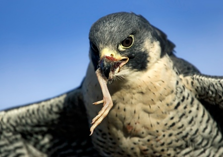 Peregrine Falcon photograph - Copyright Scott Bourne