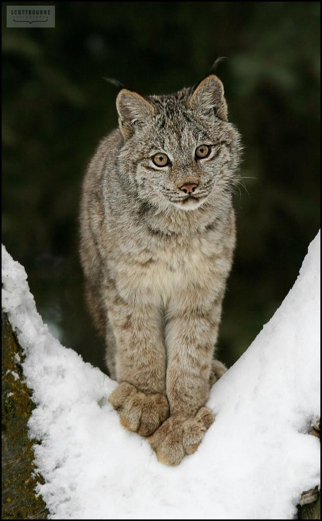 Bobcat Photograph by Scott Bourne