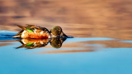 Northern Shoveler Photo by Scott Bourne
