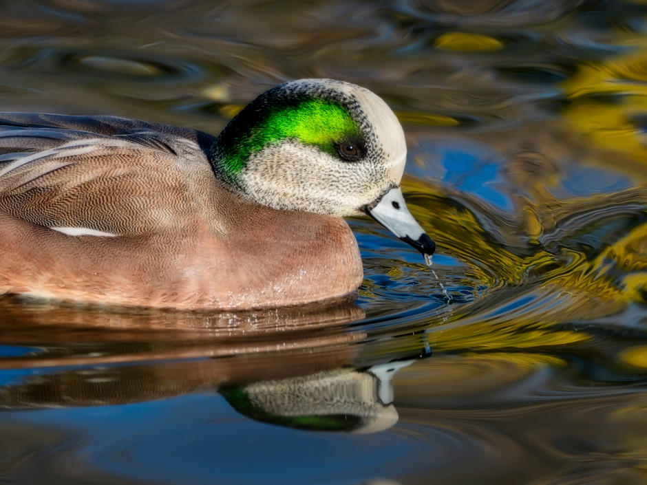 Wigeon in a pond photo by Scott Bourne