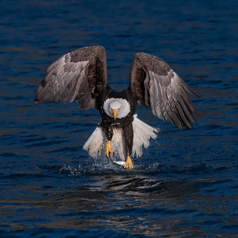 Photograph of an Eagle Catching Fish by Scott Bourne