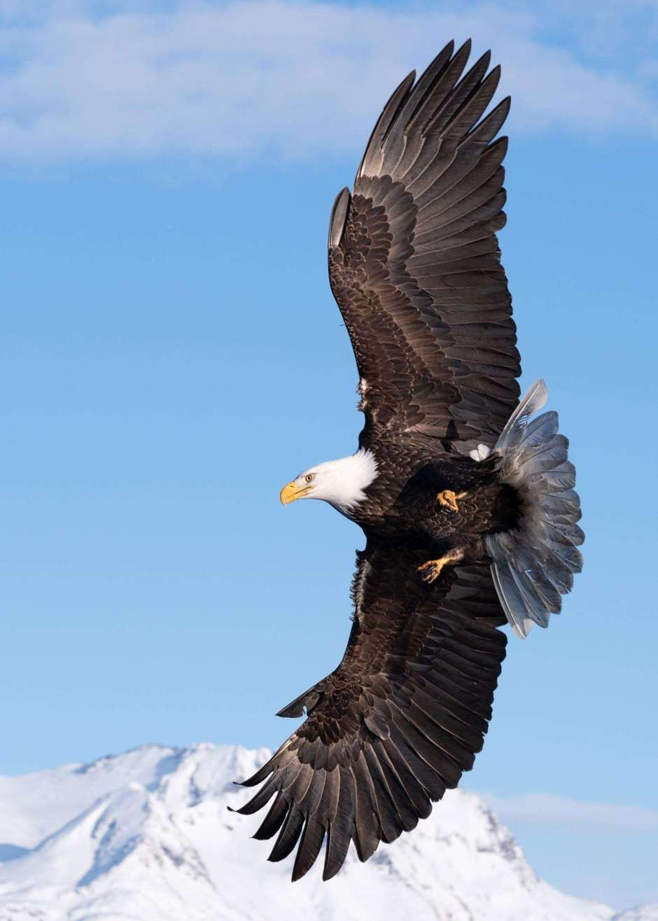 A photograph of an eagle soaring by Scott Bourne