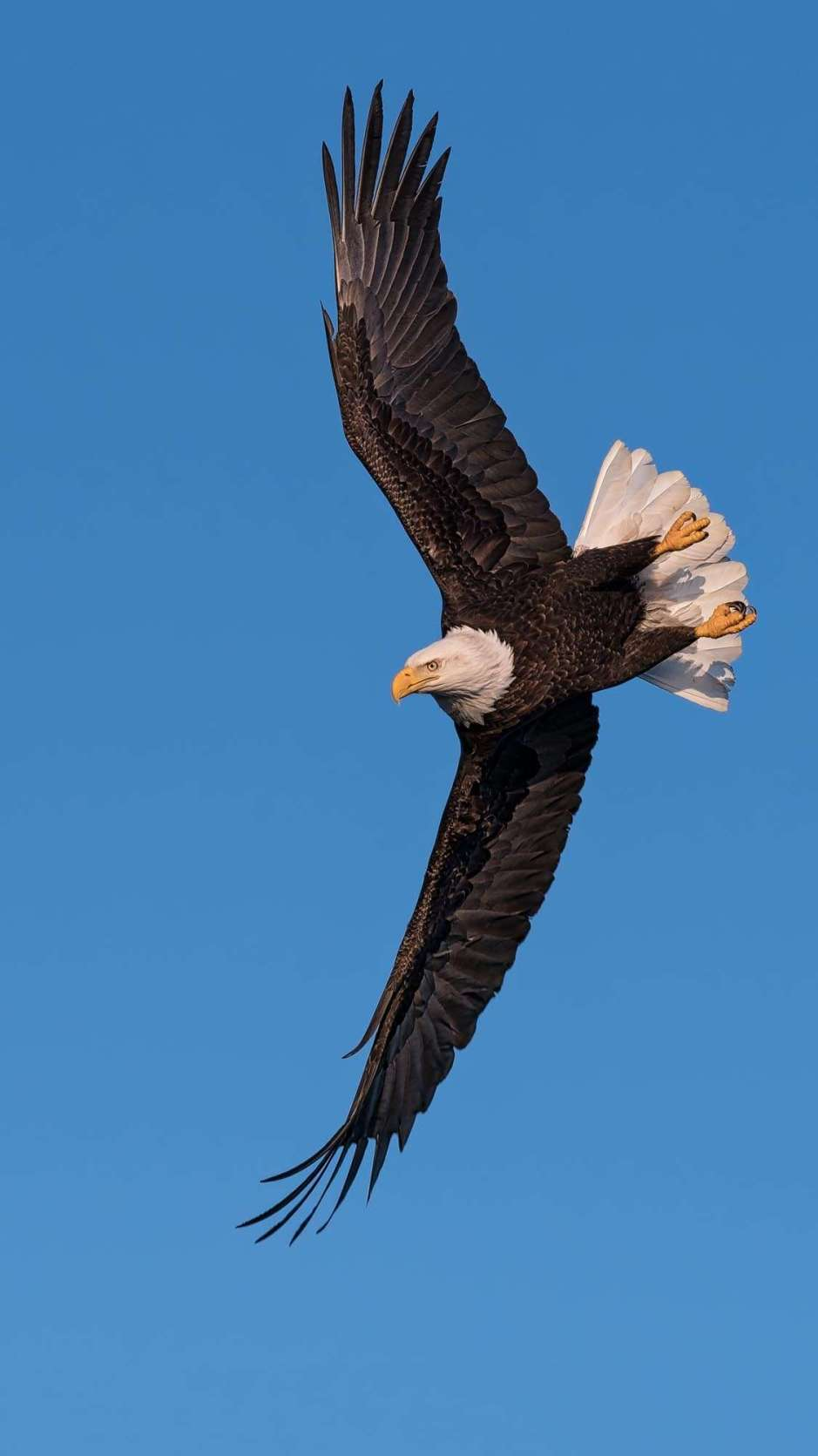 A photograph of an eagle soaring by Scott Bourne . II