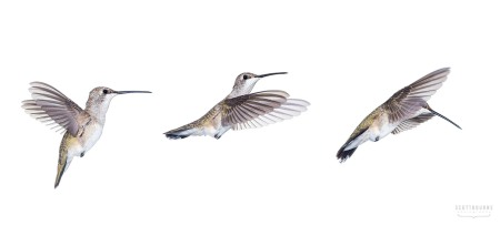 Hummingbird Triptych Photo by Scott Bourne