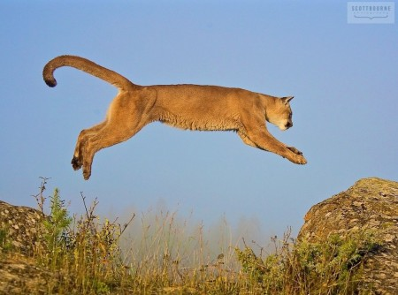 Mountain Lion Leaping Photograph by Scott Bourne