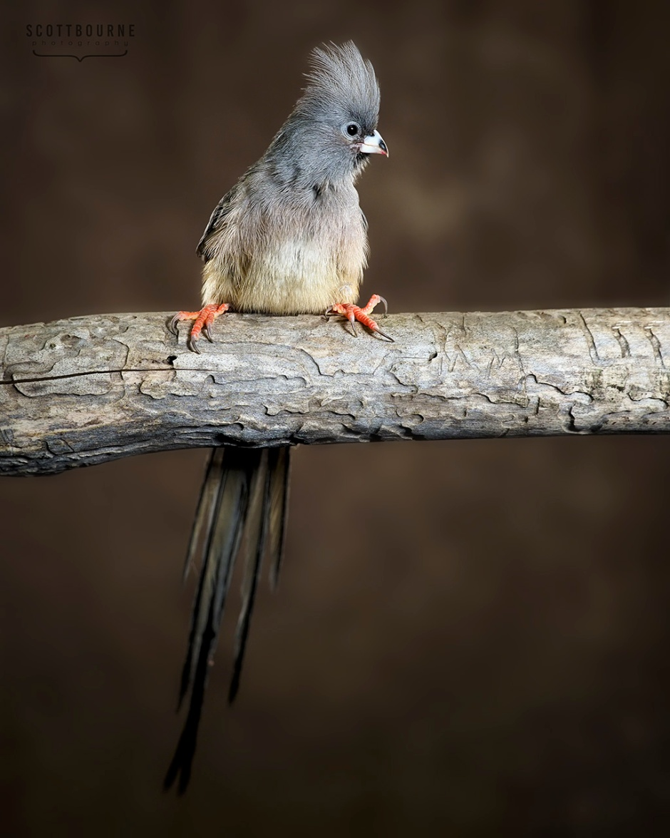 mousebird (family Coliidae, order Coliiformes) photo by Scott Bourne