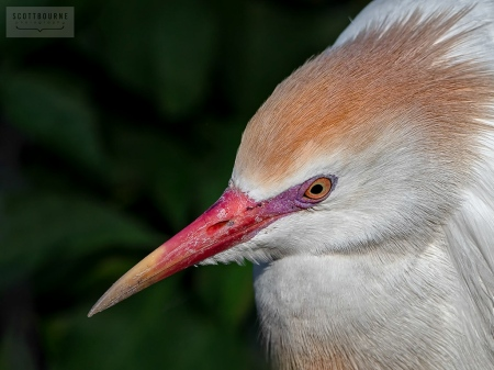 Cattle Egret Photograph by Scott Bourne