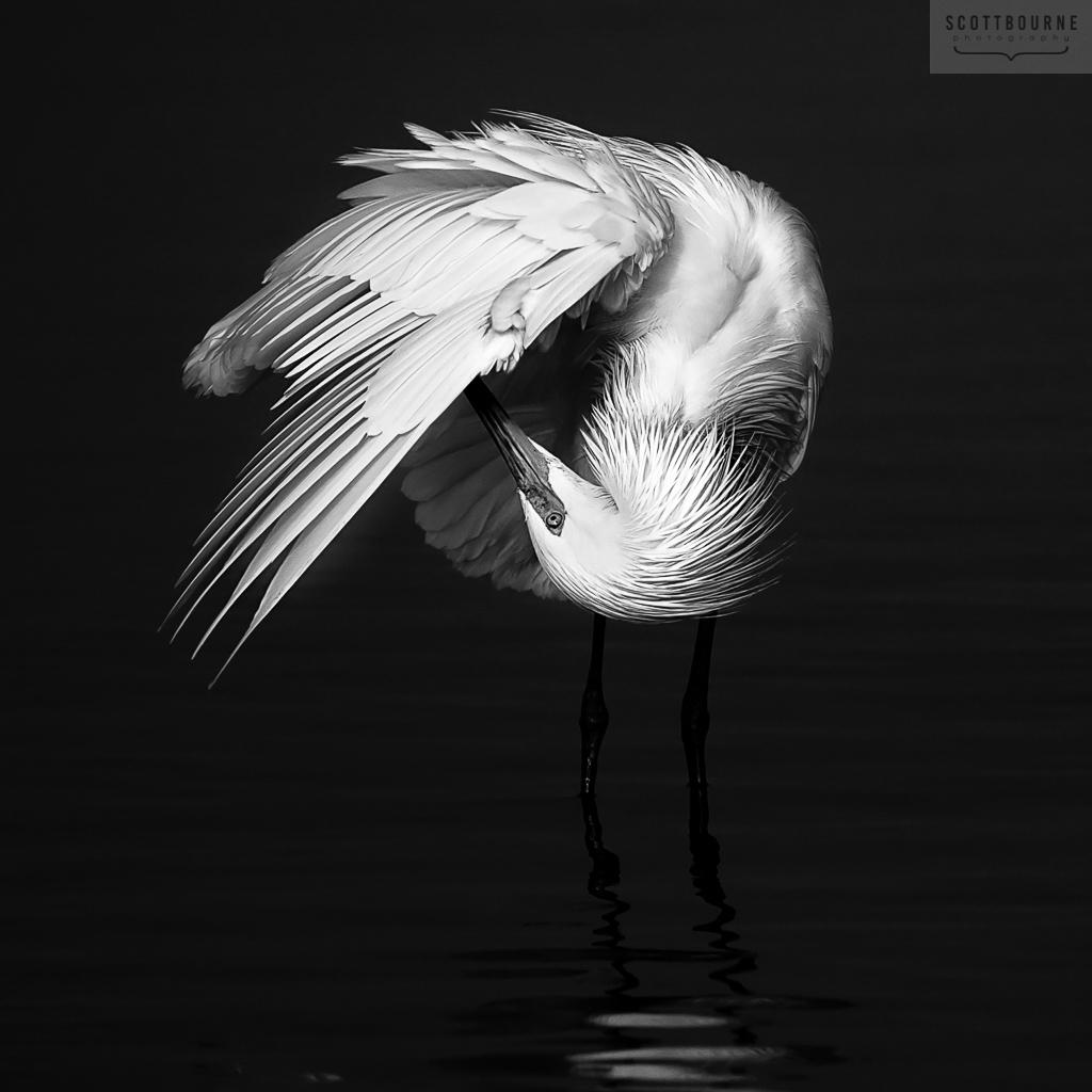 Reddish Egret White Morph Photo by Scott Bourne