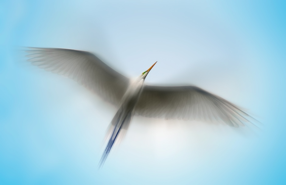 A photograph of an egret in flight - Copyright Scott Bourne
