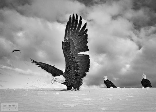 Bald Eagle Close Up Photo by Scott Bourne