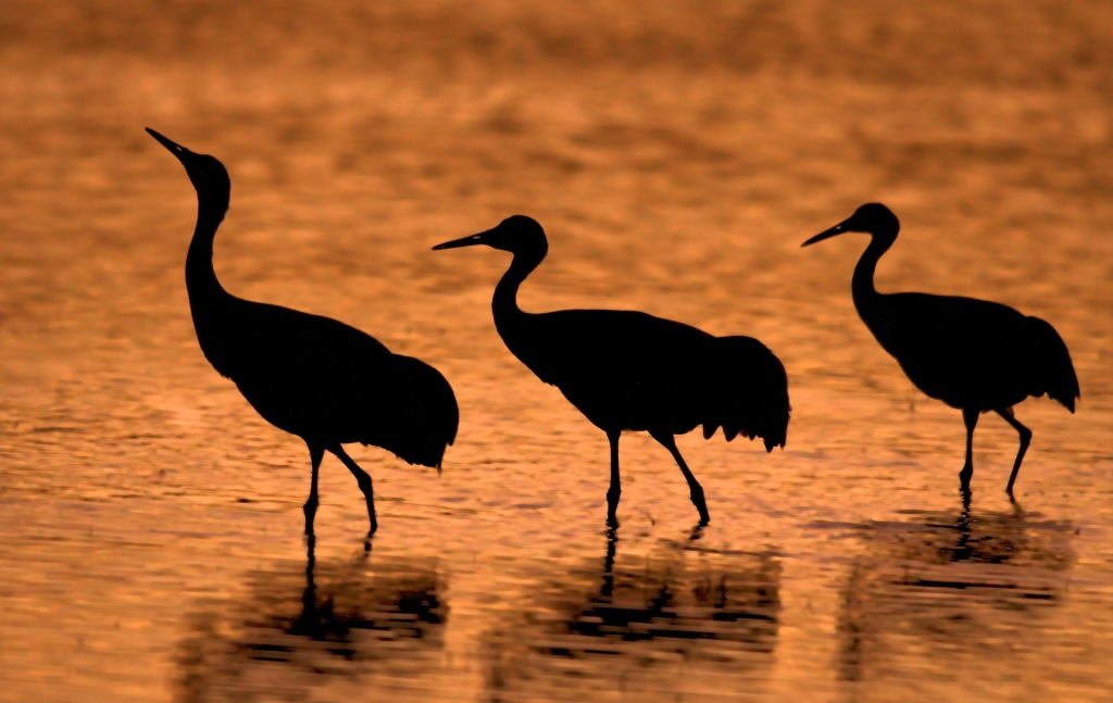 Photograph of three sandhill cranes at Bosque del Apache, NM