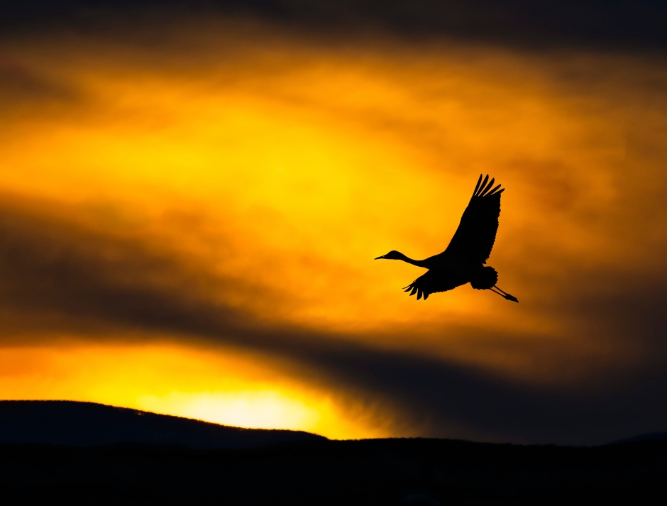 Sandhill crane at sunset - photo by Scott Bourne