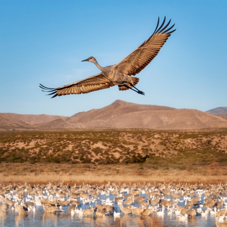 Sandhill Crane Flying - photo by Scott Bourne