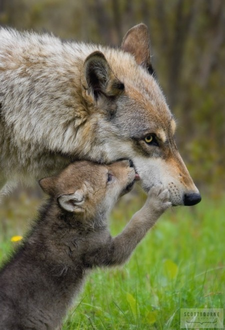 Photograph of a Wolf - Mother & Pup - By Scott Bourne