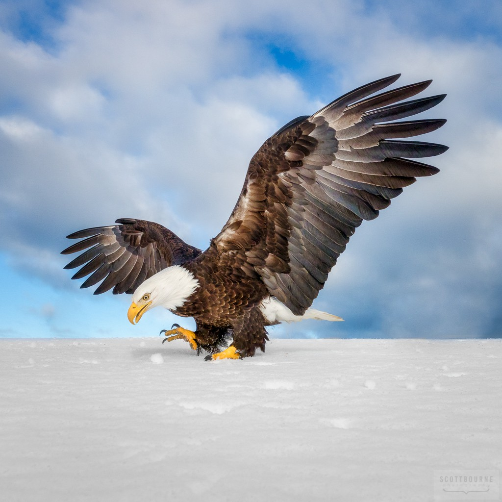 Eagle Landing In The Snow - Photograph By Scott Bourne