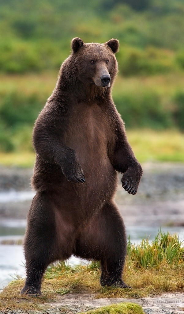 Coastal Brown Bear Photograph by Scott Bourne