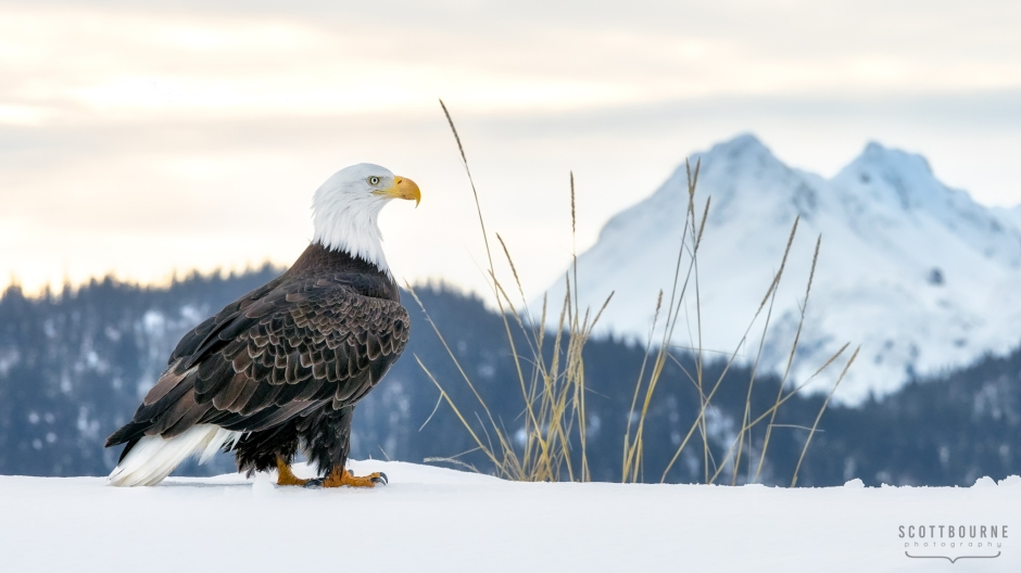 Bald eagle photograph by Scott Bourne