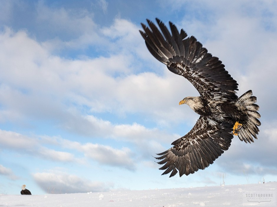 Eagle In Flight Photo by Scott Bourne