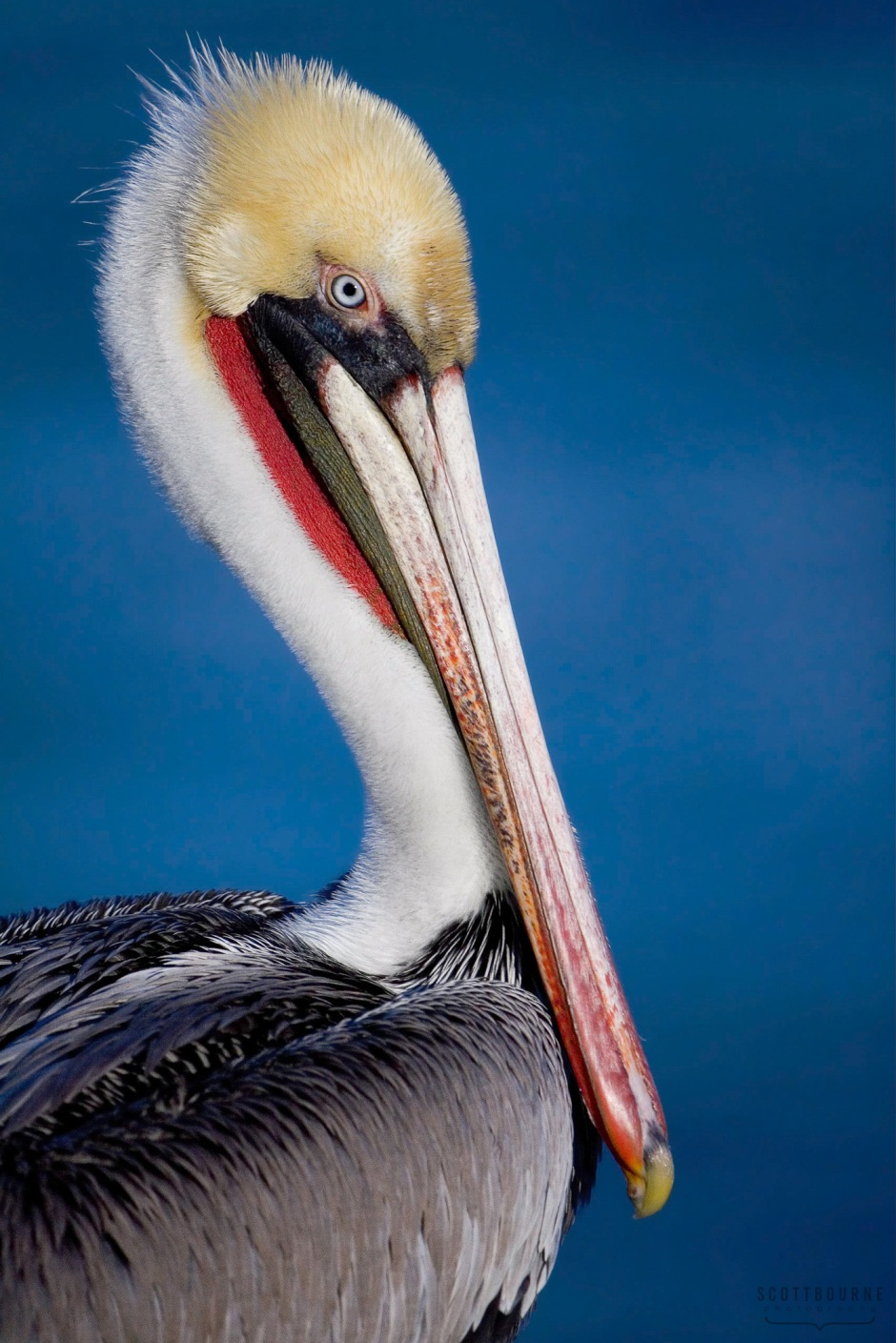 Pelican photograph by Scott Bourne