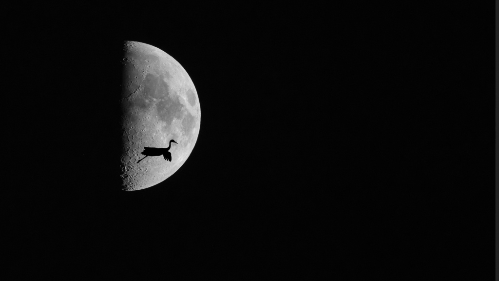 Crane flies through the moon photo by Scott Bourne