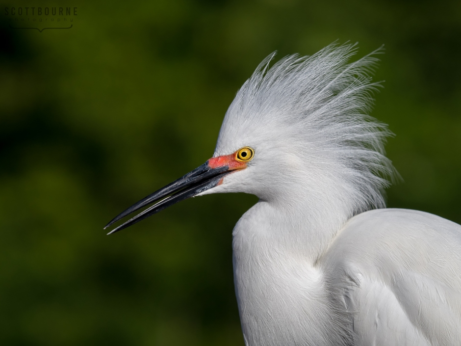 Snowy Egret photography by Scott Bourne