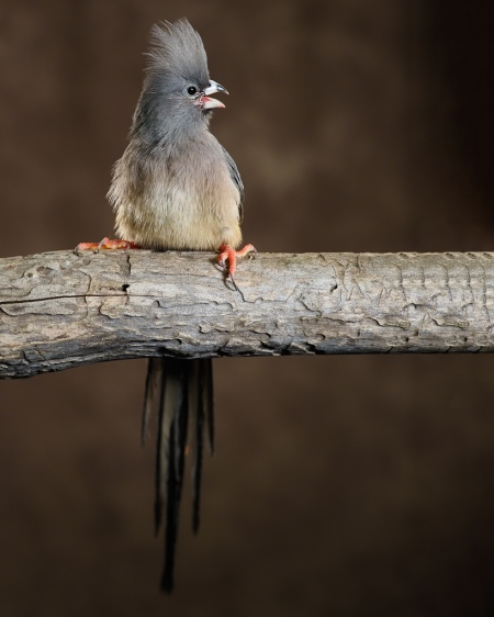 Mousebird photograph by Scott Bourne