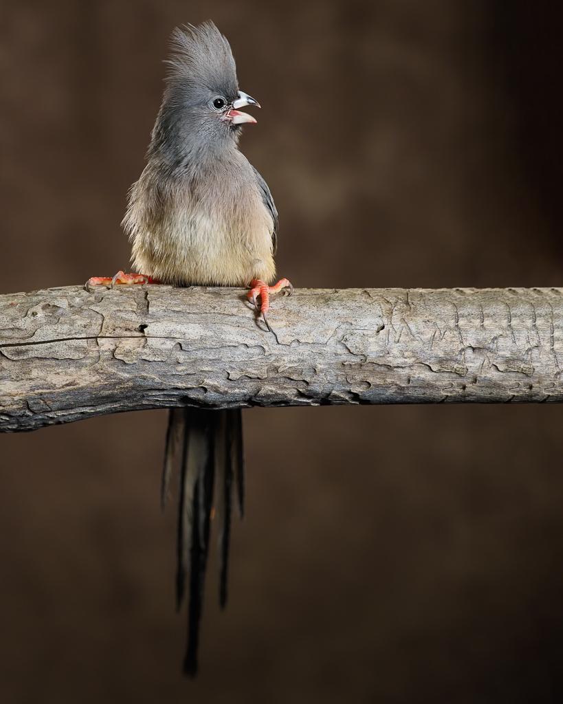 Mousebird photograph by Scott Bourne