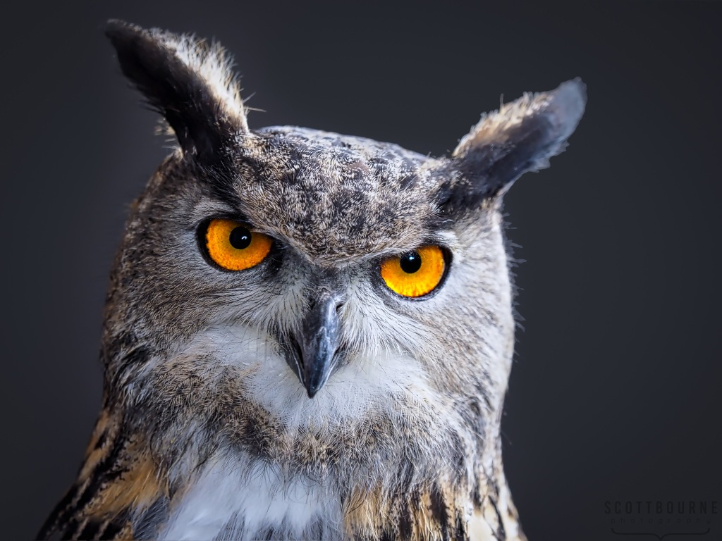 Eagle Owl Photo by Scott Bourne