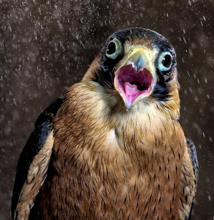 Falcon Photograph Copyright Scott Bourne