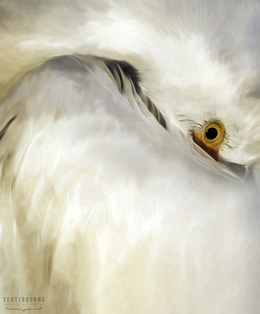 Snowy Egret Photo by Scott Bourne