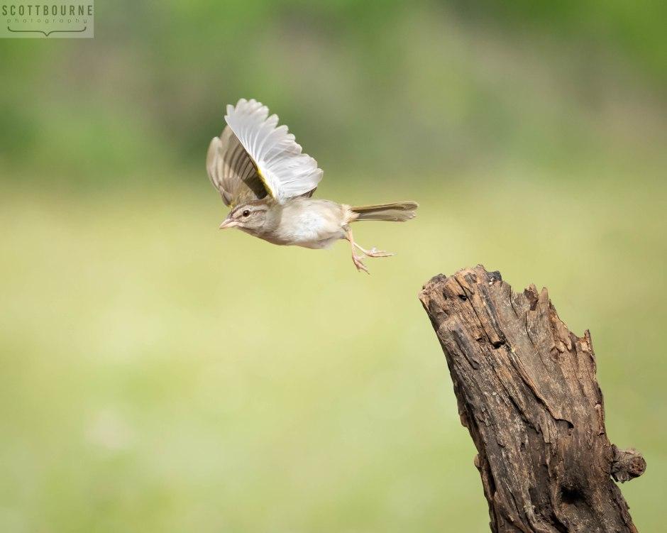 Sparrow photo by Scott Bourne