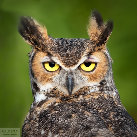 Great Horned Owl Photo by Scott Bourne