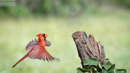 Northern Cardinal Photo by Scott Bourne