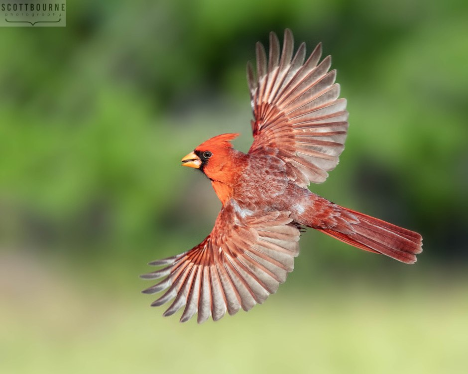 Cardinal in flight photo by Scott Bourne