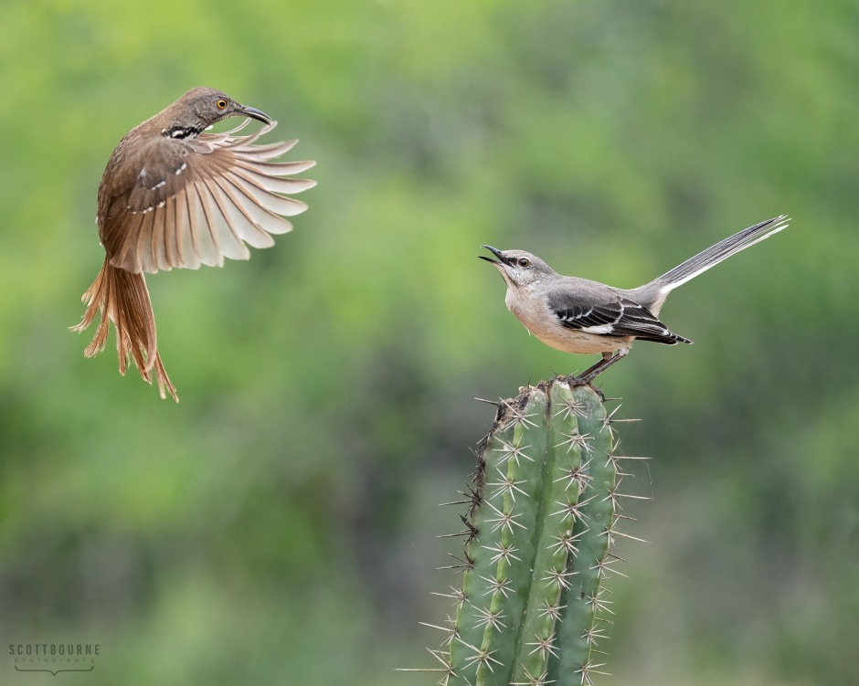 Thrasher_Mockingbird photo by Scott Bourne