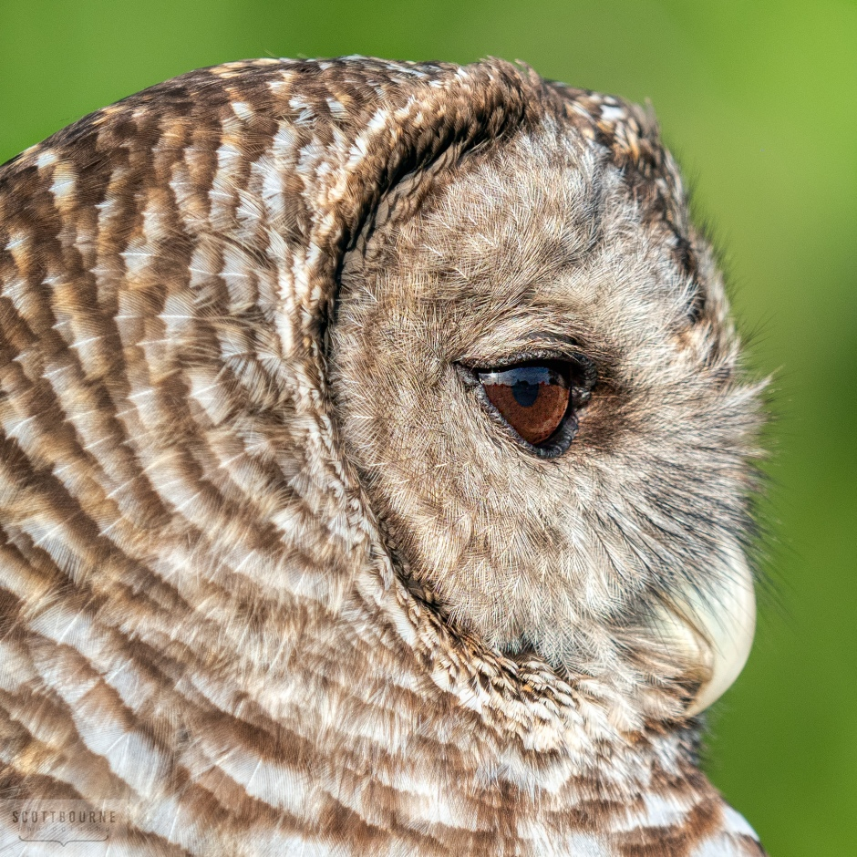 Barred Owl Photograph by Scott Bourne