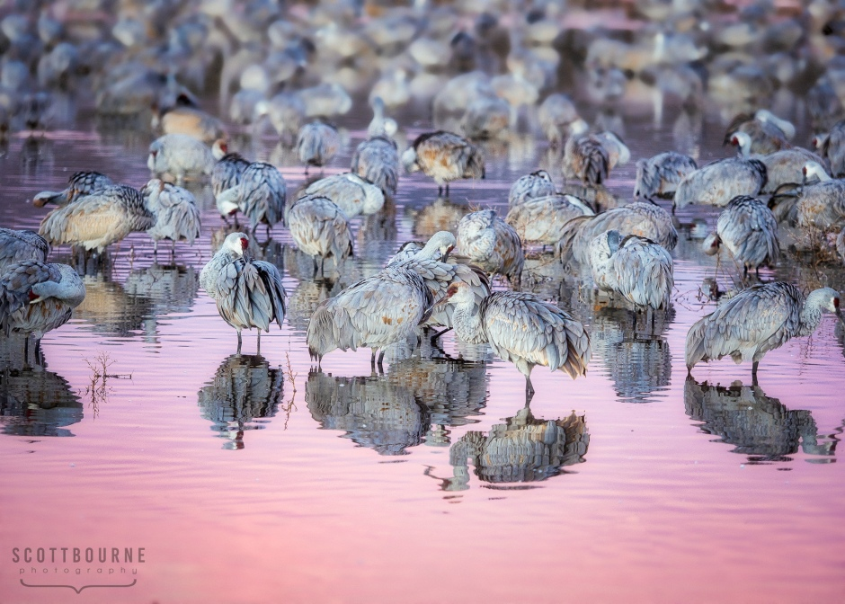 Sandhill Cranes at Bosque del Apache Photo by Scott Bourne