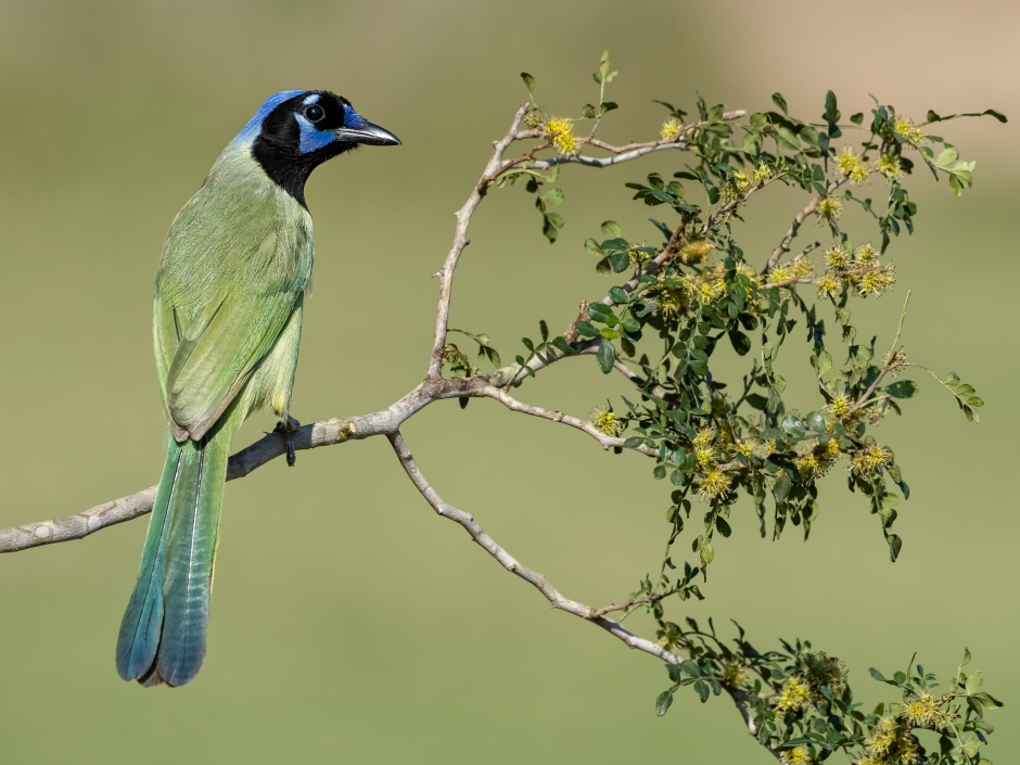 Green Jay Photo by Scott Bourne