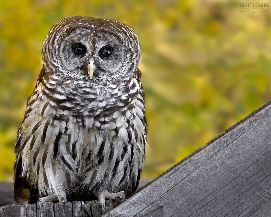 Owl Photo by Scott Bourne