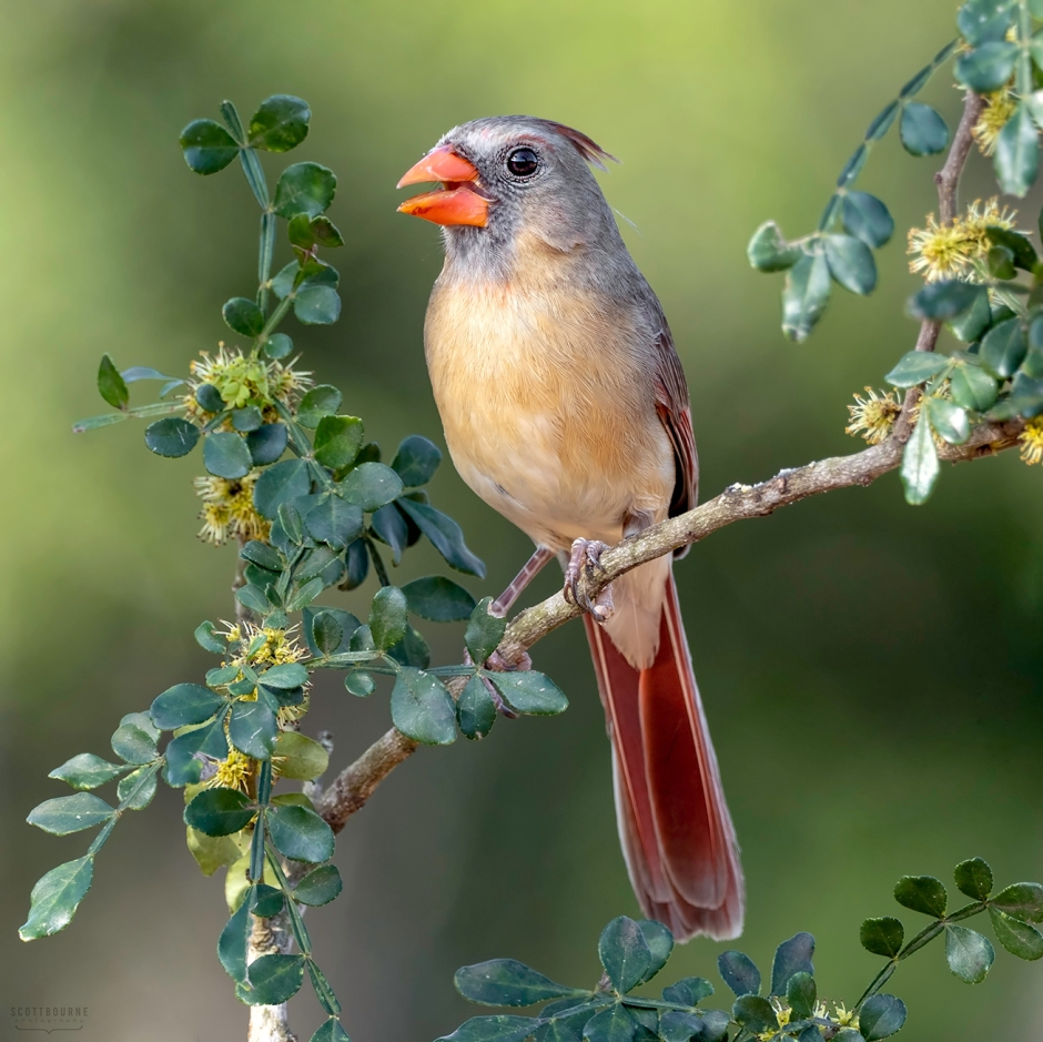 Female Cardinal Photo by Scott Bourne