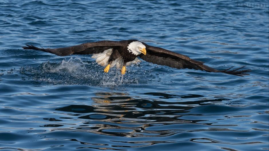 Eagle Photo by Scott Bourne