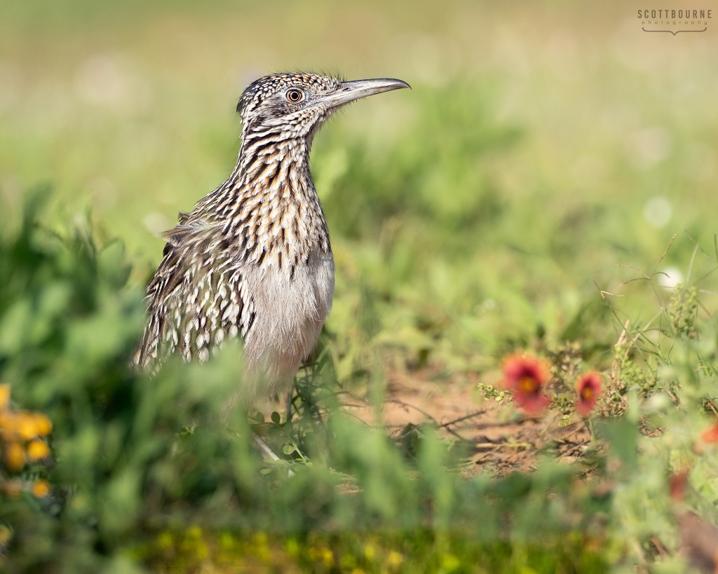 Roadrunner Photo by Scott Bourne